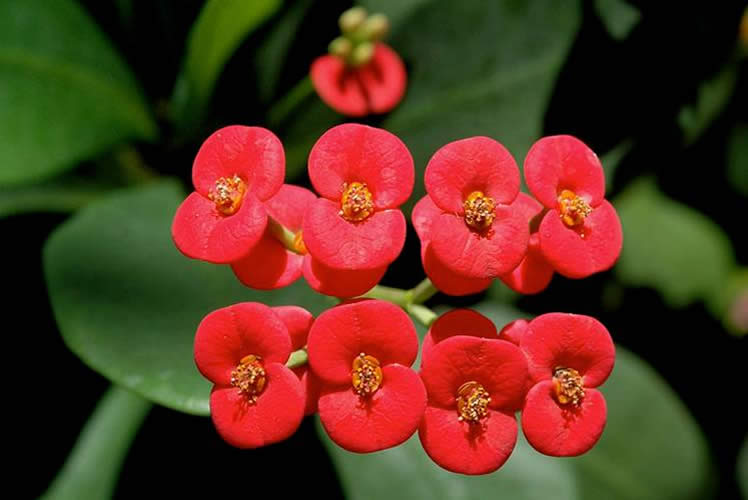 Euphorbia milii - Red