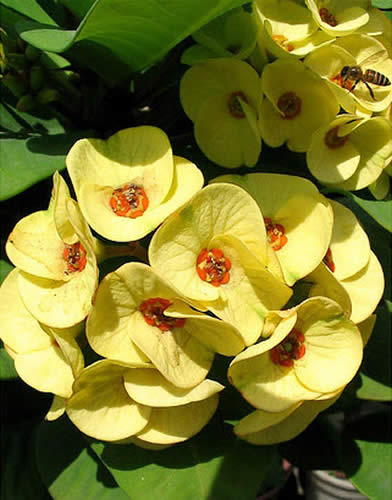 Euphorbia milii yellow