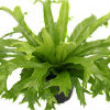 Crested Birds Nest Fern Crissie