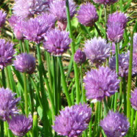 Herb Chives - Onion