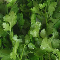 Herb Coriander - Slow Bolt
