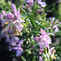 Herb Rosemary - Rosy