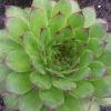 Sempervivum Royanum